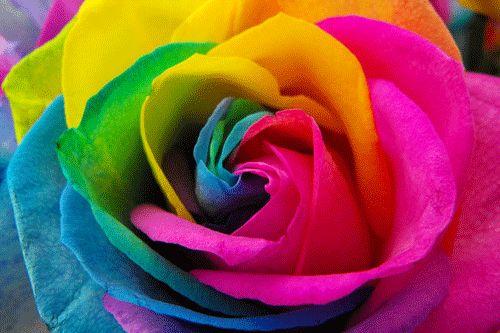 Imagenes y fotografias de rosas