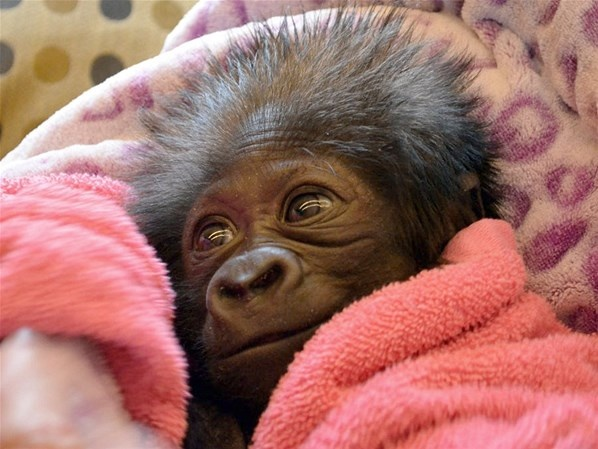 four-week-old baby gorilla cracks a smile at her keepers