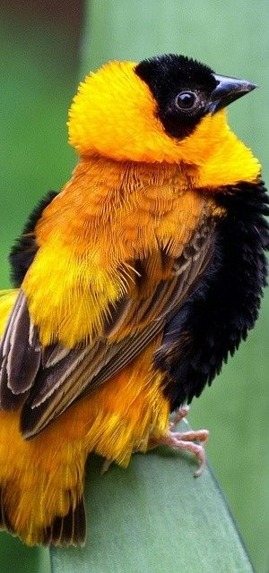 The origin if feather dusters... Orange Bishop, native of sub-Saharan Africa, naturalized parts of southern Europe & the USA.