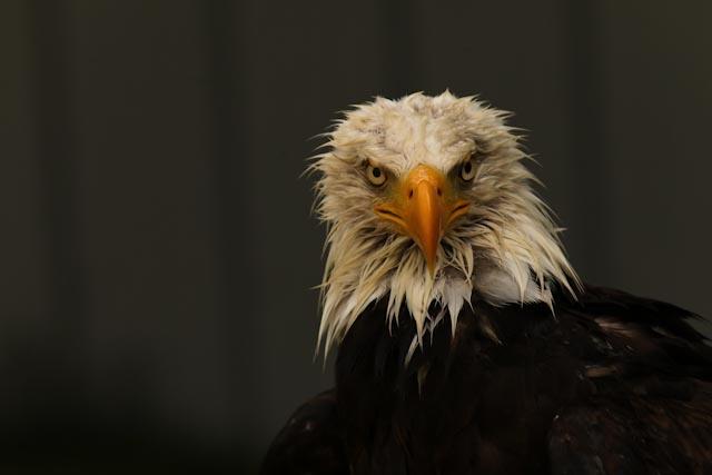 The miffed eagle