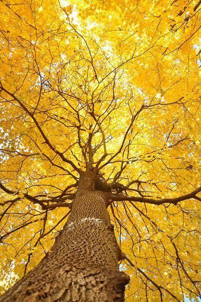 Resultado de imagen de nogal arbol en otoño