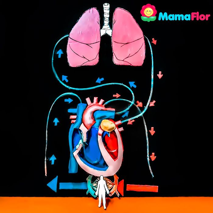 Proyecto Sistema Circulatorio Para Niños En 3d Sistema Circulatorio Proyectos De Ciencia De La Escuela Sistema Circulatorio Maqueta