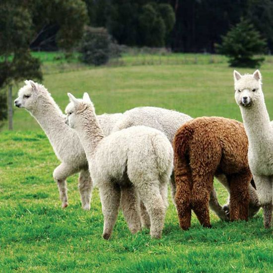 Learn everything you need to know about raising alpacas, including buying, feeding, breeding and much more.data-pin-do=