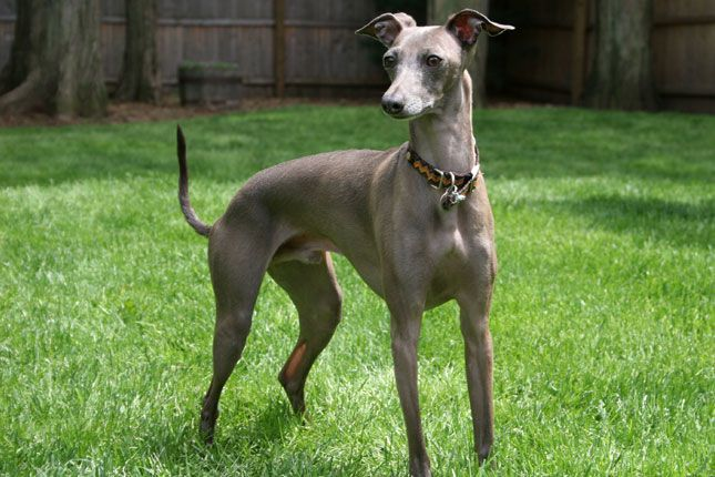 Find Italian Greyhound puppies for sale and dogs for adoption from reputable Italian Greyhound dog breeders. Find the perfect Italian Greyhound puppy at NextDayPets.com.
