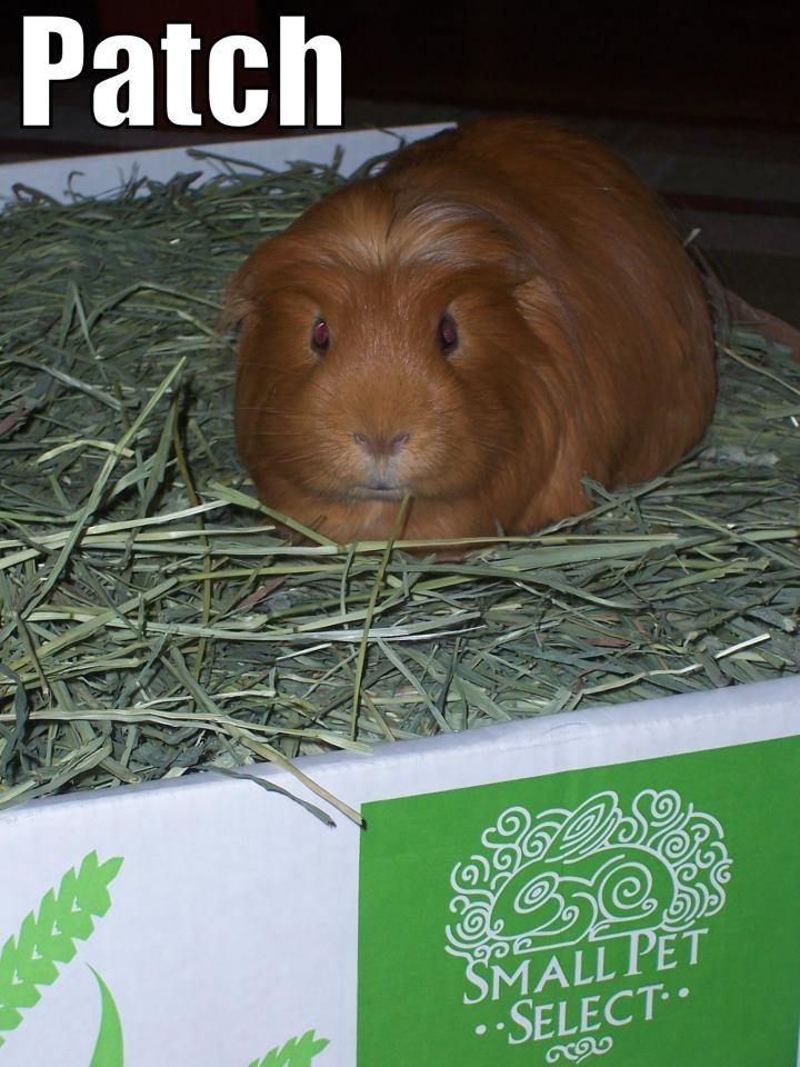 Guinea Pig named Patch in his green timothy hay from http://smallpetselect.com/timothy-hay/   Use code 'PINTEREST' for FREE SHIPPING!