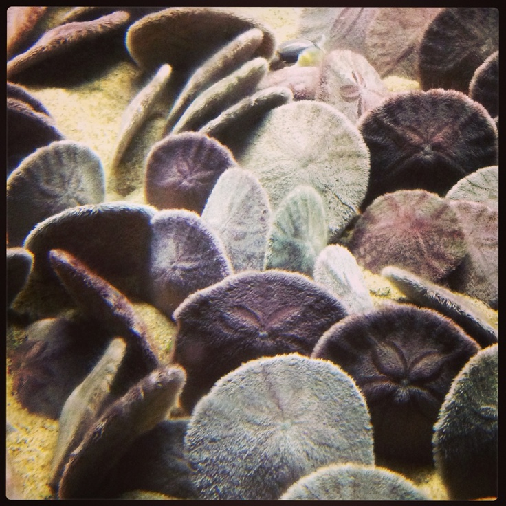The Sand dollars, are species of flattened, burrowing sea urchins belonging to the order Clypeasteroida. Echinarachnius parma,
