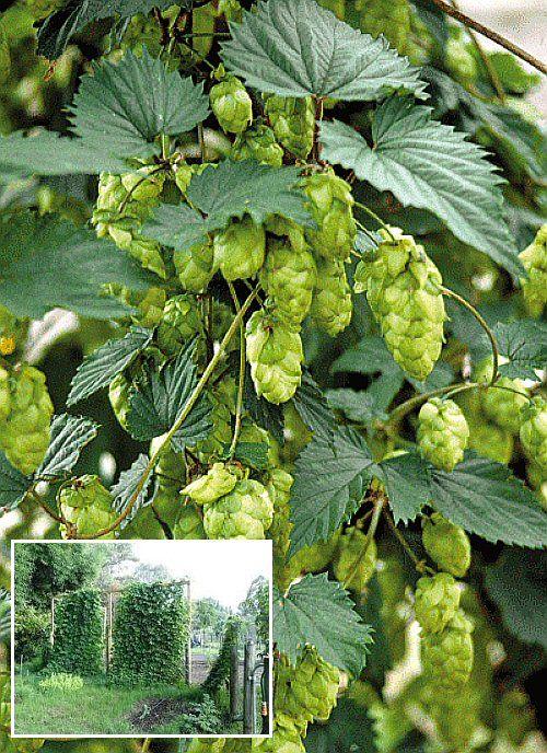 51 best hops images on pinterest ale backyard ideas and for Hops garden designs