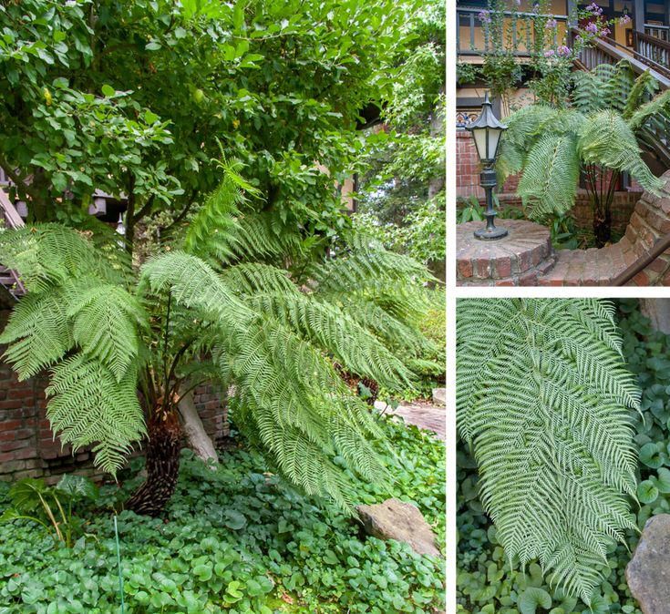 Tasmanian tree fern for my florida garden zone 9 11 shade for Shade garden design zone 9
