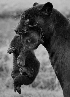Panthère noire et bébé panthère noire