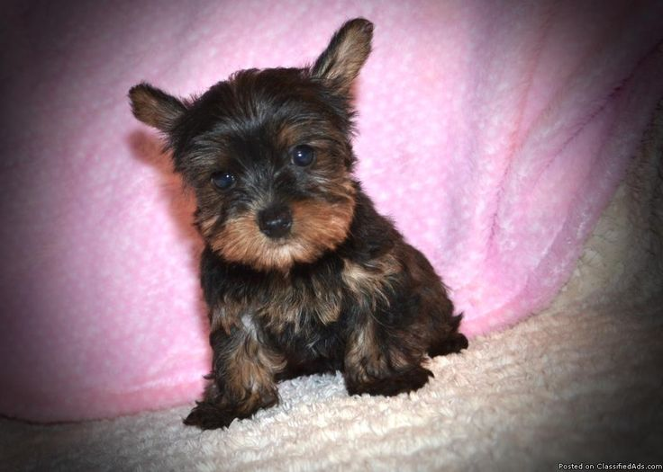 This is Polli. She is a teacup female Yorkie. She was born Jan. 3, 2017 and is ready for a new home now, price has just been reduced. She comes up to date on shots and wormings and with registration papers. For more information view my website www.tkkennels.com. Call or text anytime 318-450-2148.