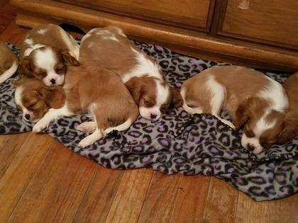 Cavalier King Charles Spaniel puppy for sale in BEAUMONT, TX. ADN-38452 on PuppyFinder.com Gender: Male. Age: 11 Weeks Old