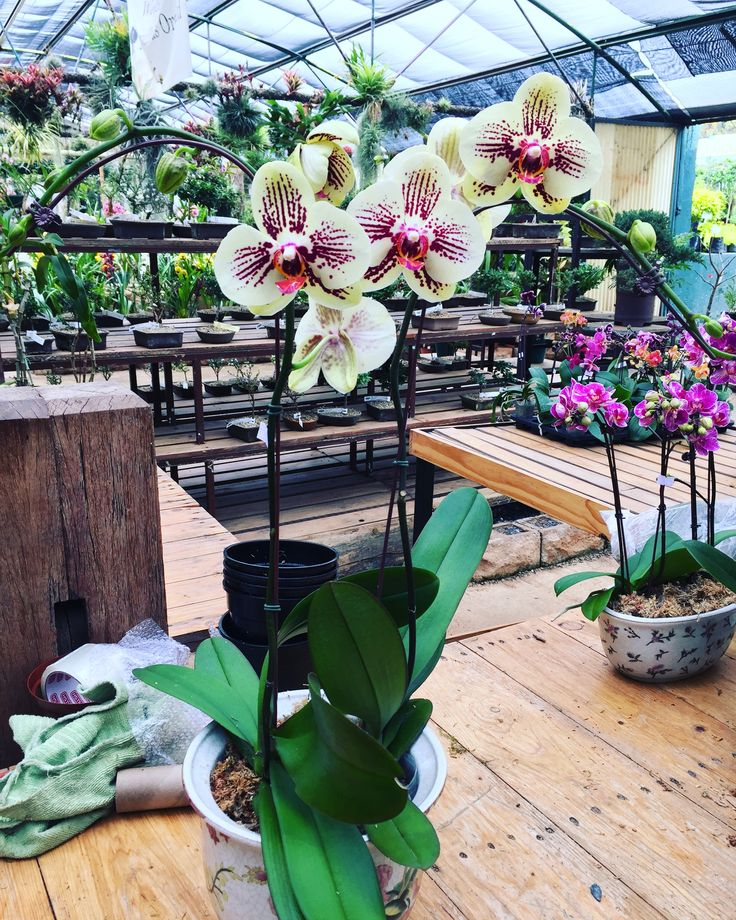 Good Morning beautiful! 🇿🇦✨💛✨ @marvellousorchid We have elegant ceramics perfect for any orchid 🤗😽💕 be sure not too miss them on your way out! #beautifulmonday #mondaymotivation #monday #orchids #yelloworchid #yelloworchids💛💛 #pots #colourful #marvellous #garden #loveorchids #phalaenopsis #beautifulpattern #rare