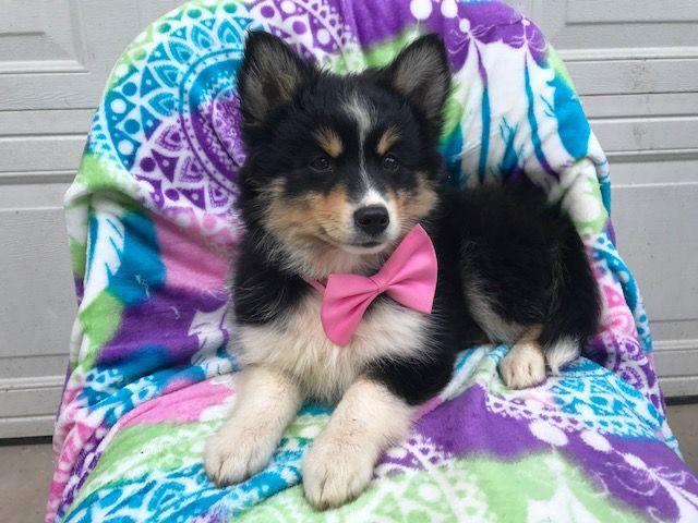 Pomsky Shepherd Maltese  mix Mix puppy for sale in EPHRATA, PA. ADN-36322 on PuppyFinder.com Gender: Female. Age: 12 Weeks Old