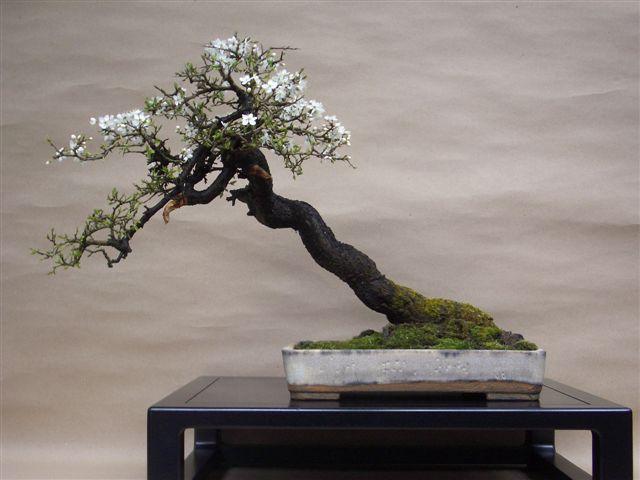 Blackthorn Bonsai ~ (Prunus Spinosa)