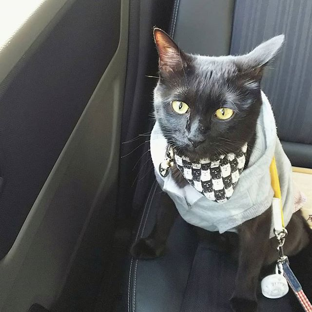撮影日︰2018年2月10日 お出かけっ🎵 今日は名古屋で #わんにゃんドーム だったり、 浅草で #にゃんだらけ だったり、 表参道で #どやねこ展 だったり。 いろいろあるけどニャ〜 じぃじとばぁばのお家にお泊りに行くんだニャ😸 #おでかけポポたん  #にゃらん風ポポたん2018  #ドライブ猫  #猫チョコピーカンで猫助け #猫モフー#ねこのきもち #re_petpark #picneko  #ねこ部 #ペットスマイル #ペコねこ部#みんねこ #nekoclub #eclacat #ねこバカ #ねこまみれ #猫好きな人と繋がりたい #world_kawaii_cat  #愛猫#黒猫 #猫部 #にゃんすたぐらむ #ねこすたぐらむ #popo#ポポ#黒猫ポポたん