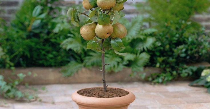 Sabia que pode cultivar fruta sem ter um jardim?