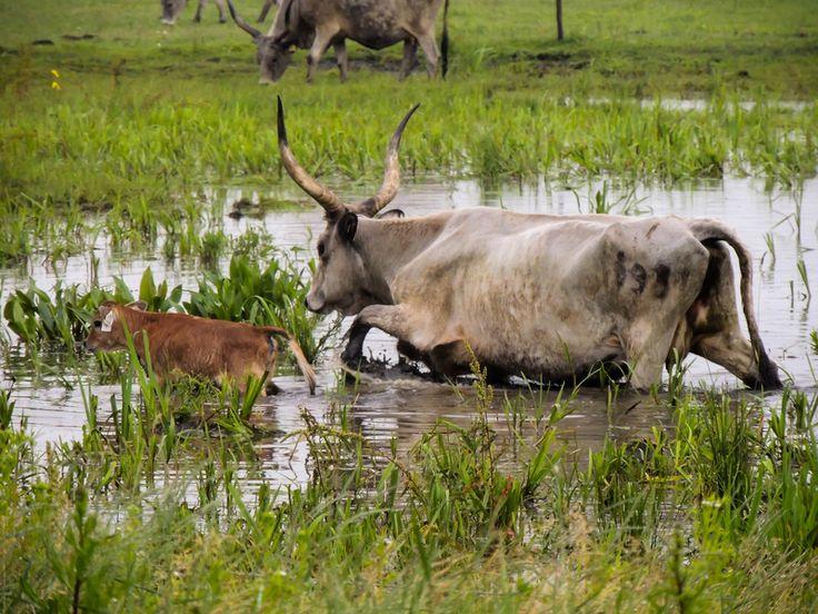 Szürke marhák bőrig ázva