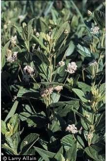 Image of Ceanothus americanus L. New Jersey Tea http://plants.usda.gov/core/profile?symbol=CEAM