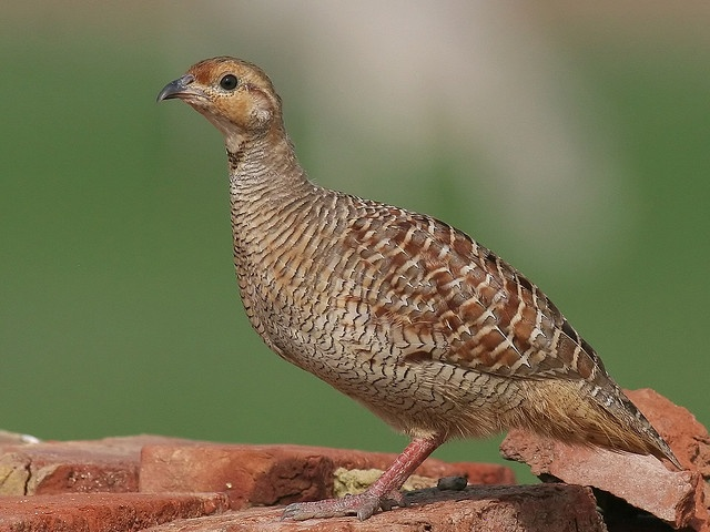 The lone (loud!) big bird that visits the bird feeder every morning has been identified as a Gray Francolin!