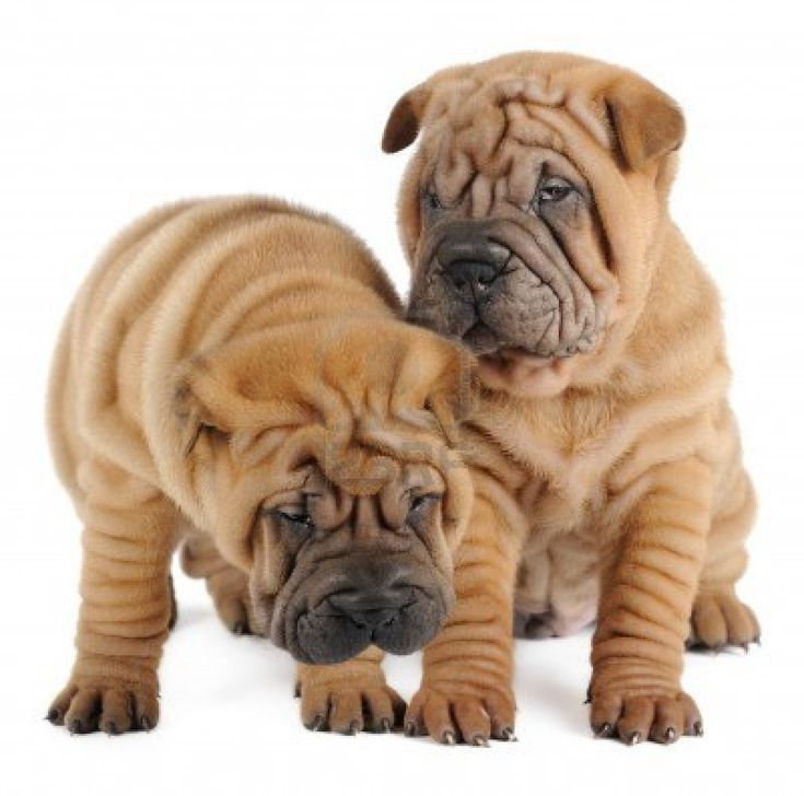 Two shar pei puppies in studio Stock Photo