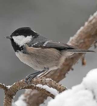 Kuusitiainen, Parus ater - Linnut - LuontoPortti
