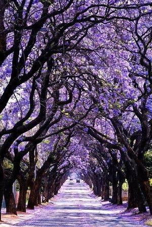 Jackaranda Tree Pretoria