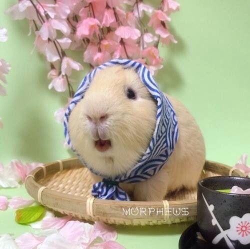 Guinea pig in scarf.