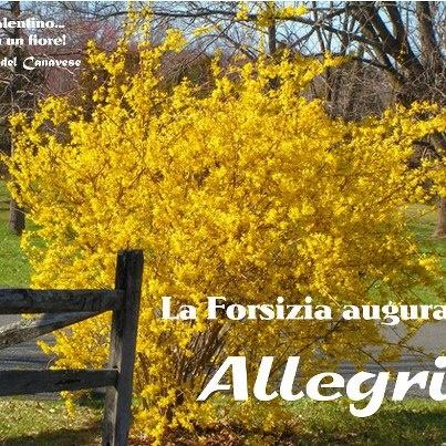 Scopri il linguaggio silenzioso dei Fiori: la FORSIZIA. Una forsizia per augu...