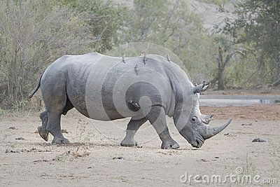 A side view of the critically endangered White Rhino in Southern Africa, walking from left to right.nOxpecker birds sitting on the Rhino.nLandscape orientation.