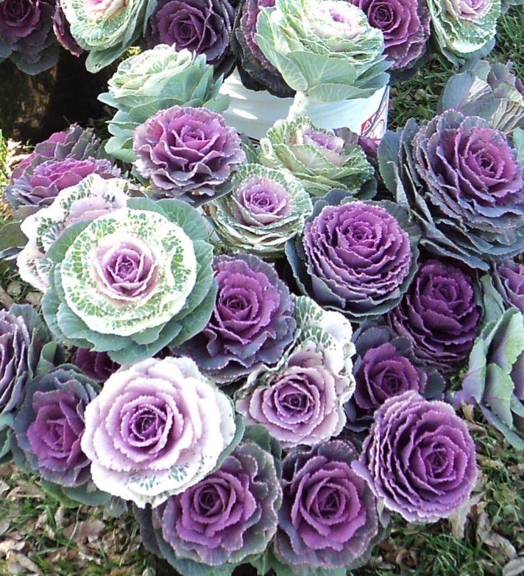 purple kale flowers.