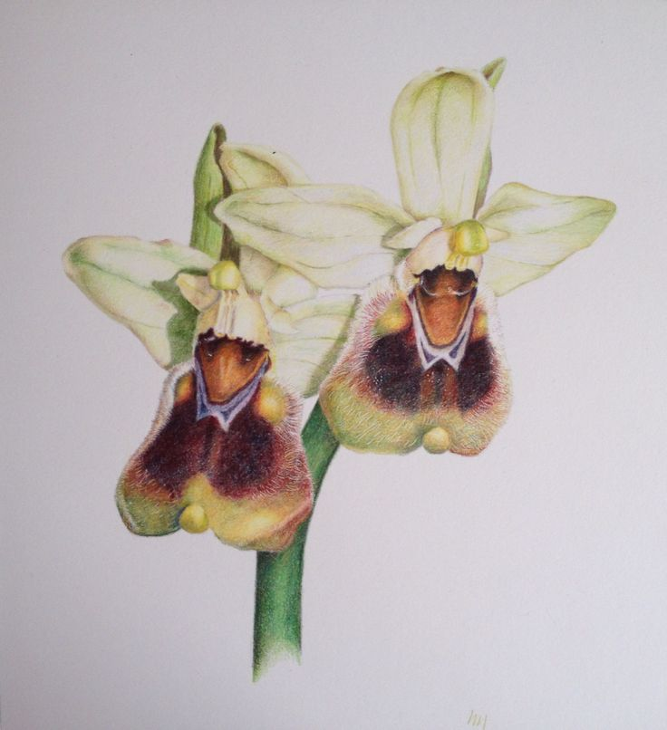 Wasp Orchid