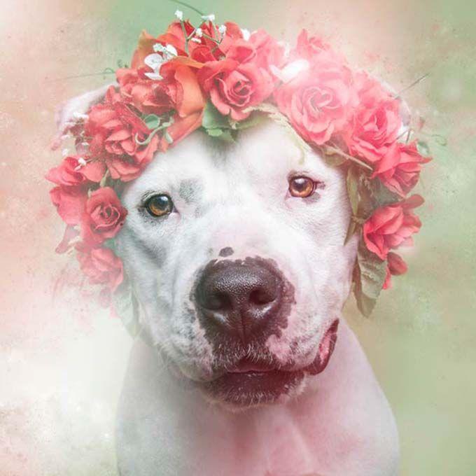 """Desmitificar a fama de uma raça de cachorro violenta. Essa é a ideia do ensaio """"Flower Power, Pit Bulls of The Revolution"""", feita pela fotógrafa Sophie Germand, em que, nas imagens Pit Bulls, aparecem vestindo coroas de flores."""