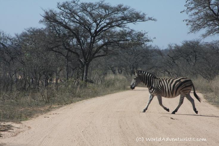 Zebra - Kruger