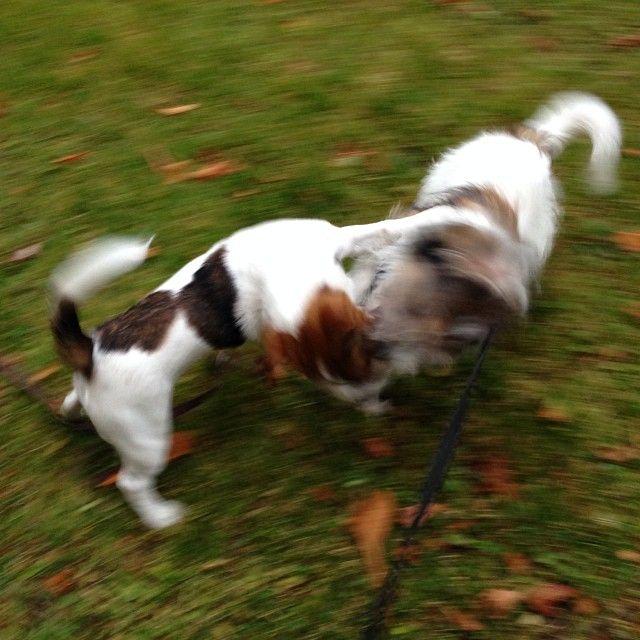 heididahlsveen:  #atsjoo og Marly 6måneder #jackrussel #byhund