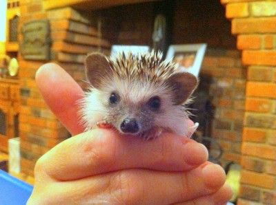 Best Hedgie Images On Pinterest Rabbit Etsy Shop And Hamsters - This instagram account will satisfy your addiction for adorable hedgehogs