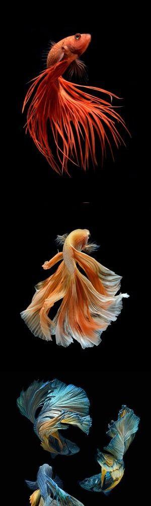 siamese fighting fish tattoo designs - Google Search