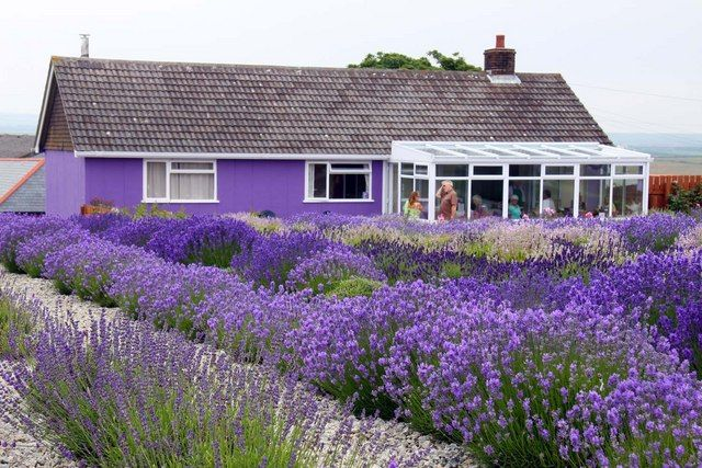 fields of lavender - Google Search