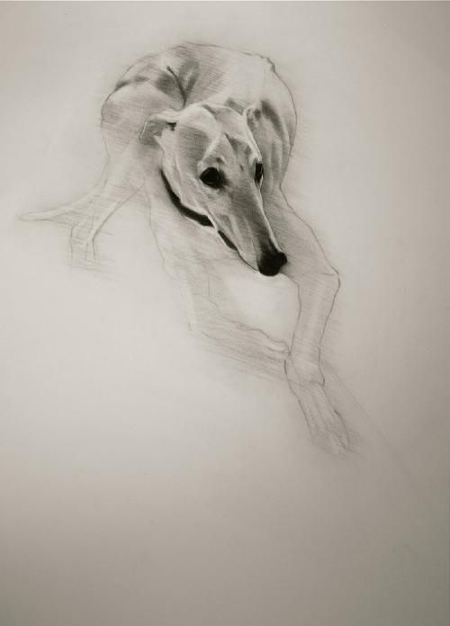 ~ charcoal on paper. greyhound studies ~