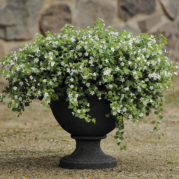 Snowtopia® Bacopa Seeds (P) Pkt Of 10 Seeds