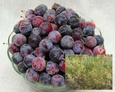 Beach Plum  A bush-form plum (grows 6-10 feet tall), it's easy to prune and harvest. Delicious, small plums are prized for jams and jellies.