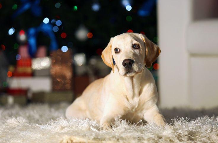 Har du en hund, katt eller et annet kjæledyr som er redd for fyrverkeri? Her får du tiråd om hvordan ta godt vare på kjæledyr på nyttårsaften.
