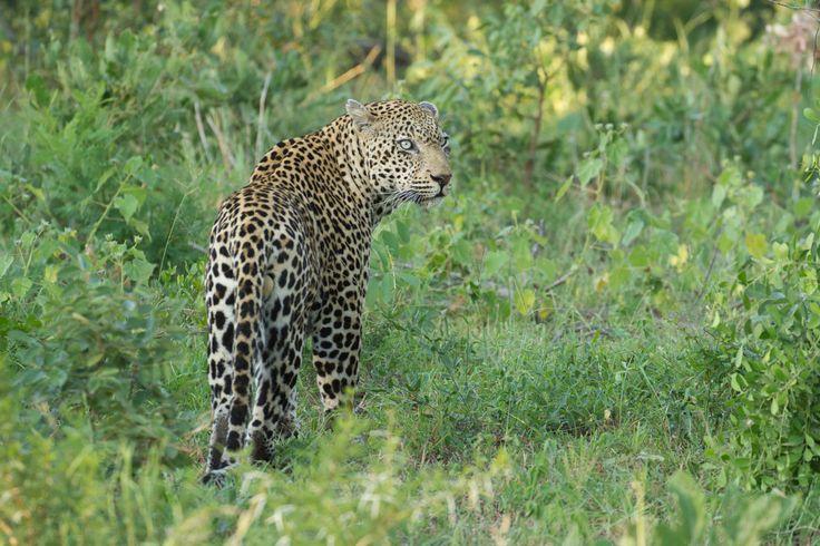 Nyaleti male glances back before disappearing in the undergrowth @singitareserves