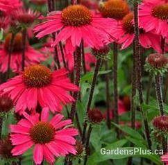 Sensation Pink coneflower  Love the black stems