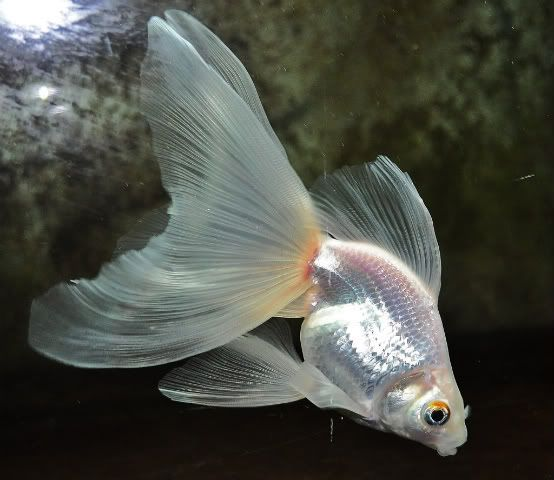 White veiltail goldfish