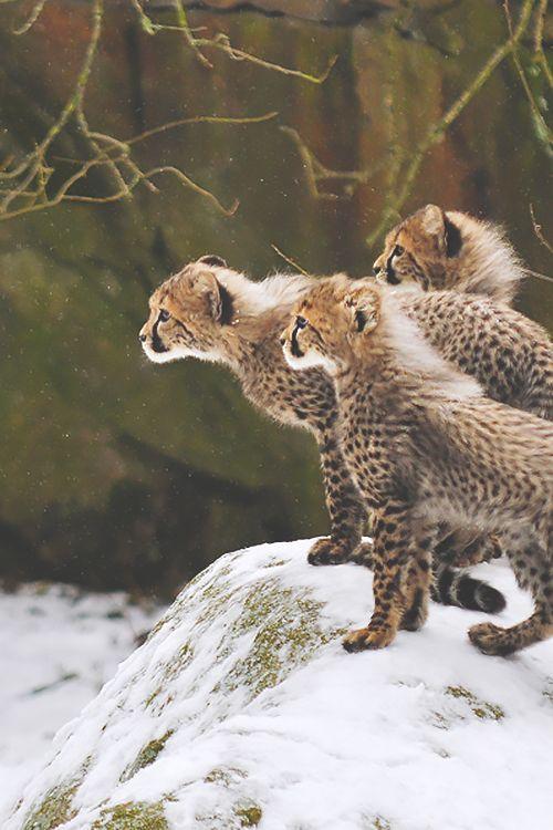 Cheetah babies (by Ida Lundahl)