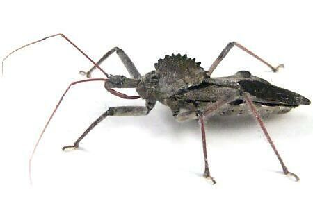 wheel bug (assassin bug) bite is the most painful bite there is. Here is one womans way of helping reduce the pain