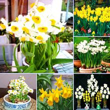 50pcs/bag Bonsai Seeds of Aquatic Plants Double Petals Daffodils Seed for Home Garden(China (Mainland))