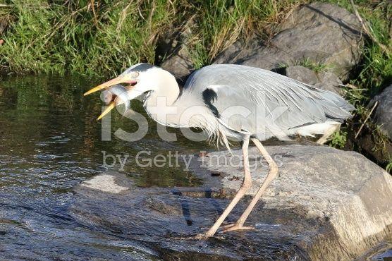Heron with prey – lizenzfreie Stock-Fotografie