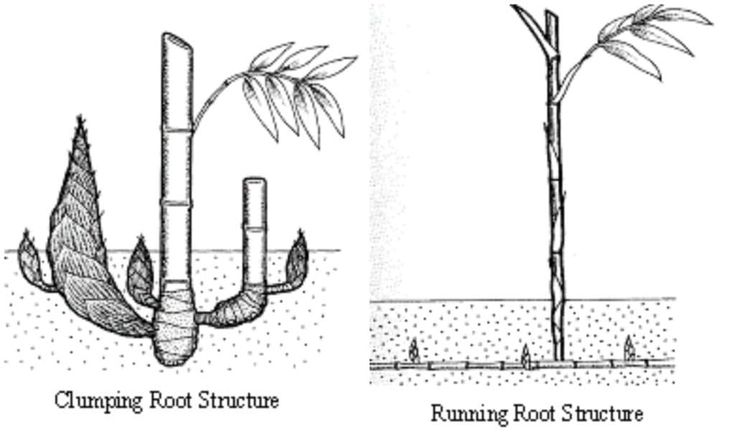 If you want the look of bamboo without the plant spreading all over your garden (and into the neighbor's), choose a clumping bamboo. Its root structure limits growth to only a few inches a year, making it much easier to keep tame. - www.thehandymansdaughter.com