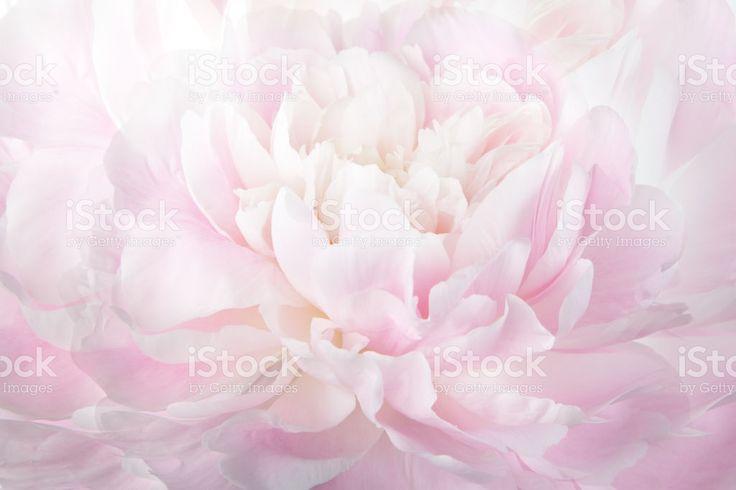 Floral abstract background, macro photography gentle pink peony Стоковые фото Стоковая фотография